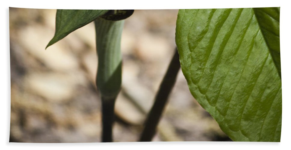 Arisaema Triphyllum Hand Towel featuring the photograph Tiny Jack In The Pulpit by Teresa Mucha