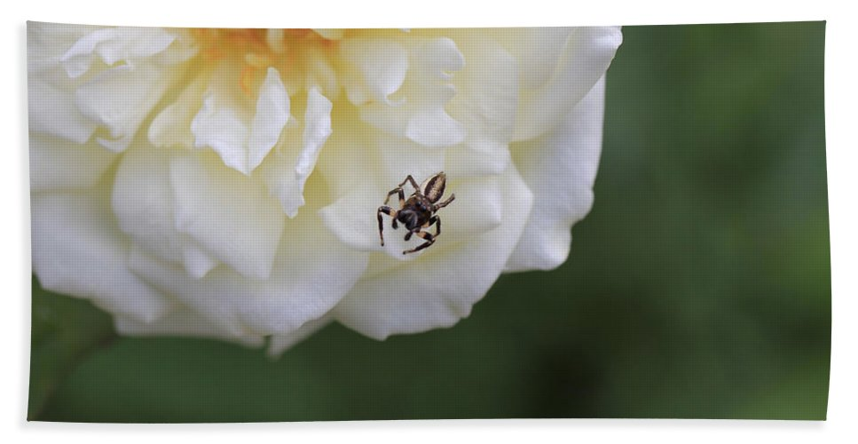 Tiny Spider On White Flower Bath Sheet featuring the photograph Tiny Spider by Douglas Barnard