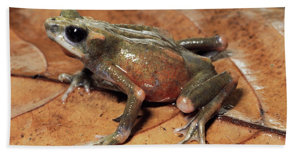 Mp Hand Towel featuring the photograph Toad Atelopus Senex On A Leaf by Michael & Patricia Fogden