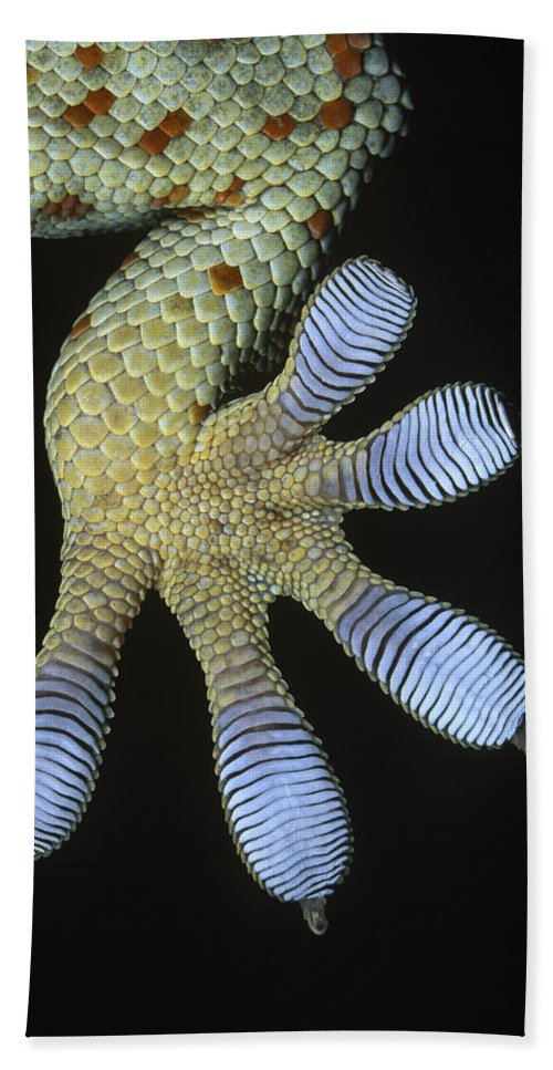 Fn Hand Towel featuring the photograph Tokay Gecko Gecko Gecko Underside by Ingo Arndt