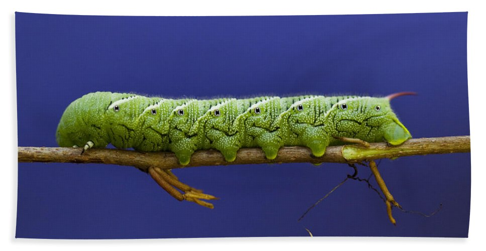 Caterpillar Hand Towel featuring the photograph Tomato Hornworm by Amy Jackson
