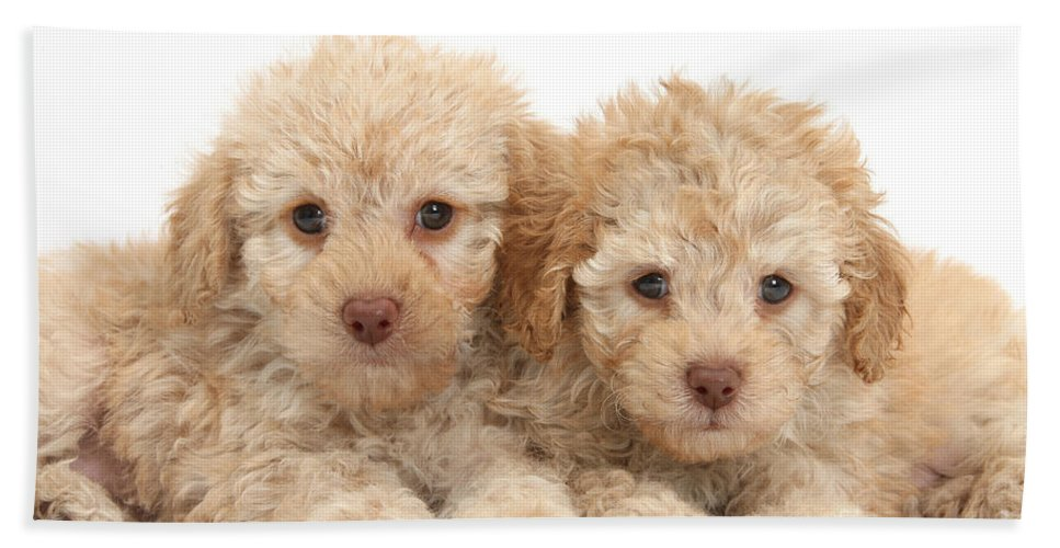 Nature Hand Towel featuring the photograph Toy Labradoodle Puppies by Mark Taylor