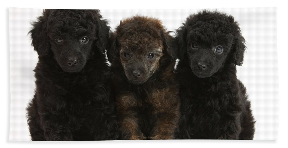 Animal Hand Towel featuring the photograph Toy Poodle Pups by Mark Taylor