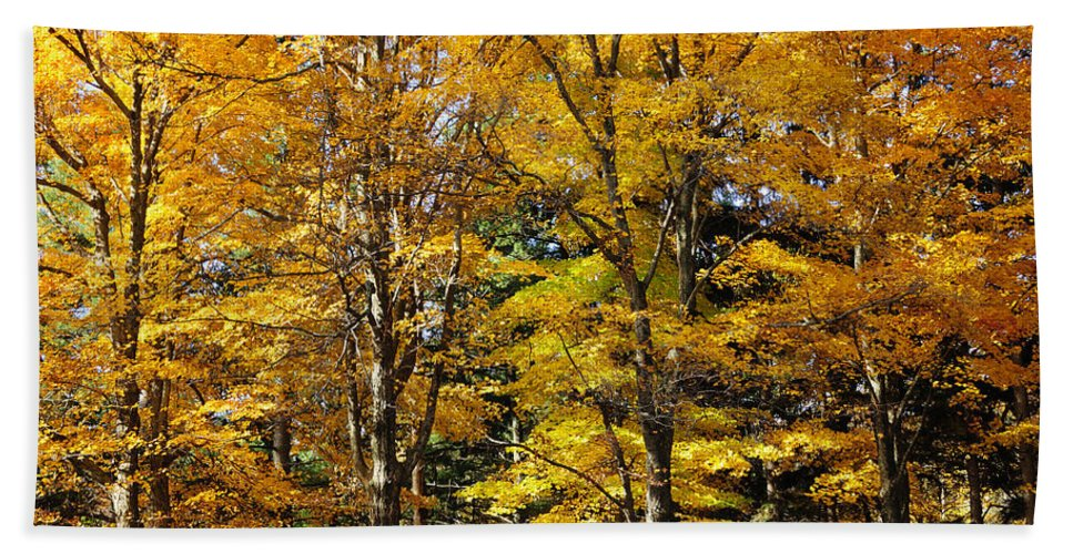Autumn Hand Towel featuring the photograph Trees Of Gold by Luke Moore