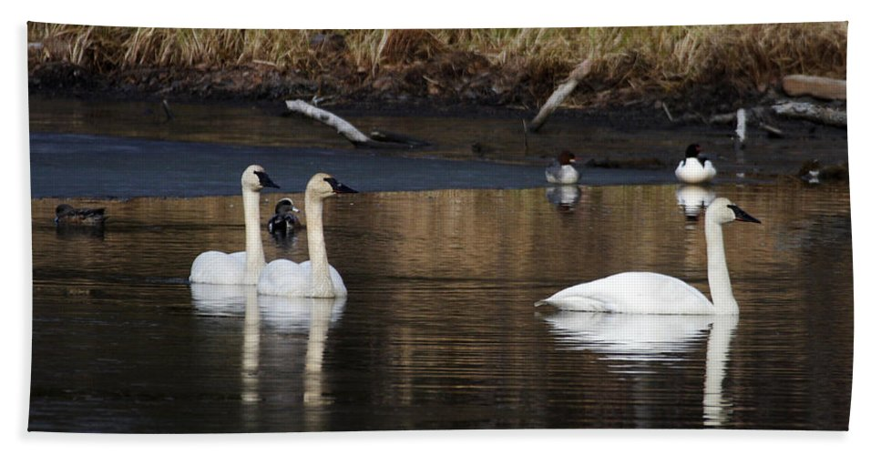 Alaska Hand Towel featuring the photograph Trumpeter Swans by Doug Lloyd