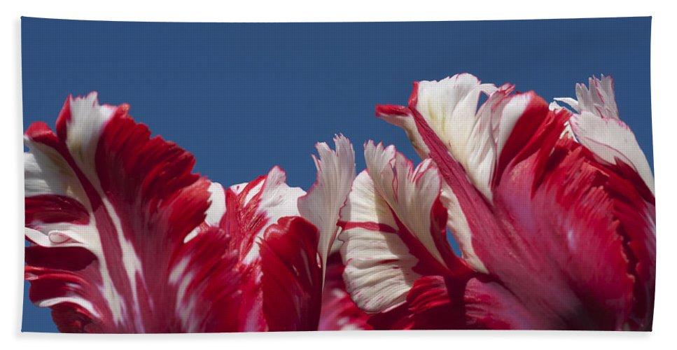 Tulips Estella Reinfeld Bath Sheet featuring the photograph Tulip Estella Reinfeld by Steve Purnell
