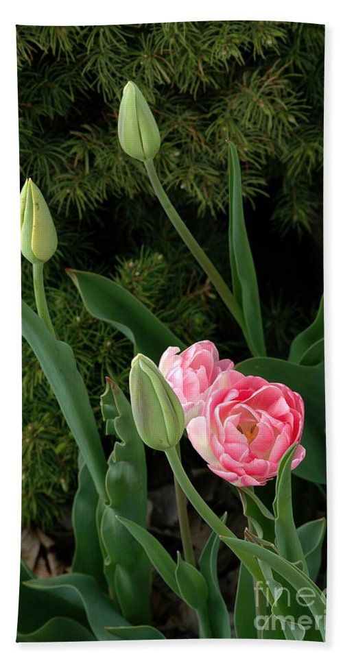 Tulips Bath Sheet featuring the photograph Tulips And Evergreen by Mike Nellums