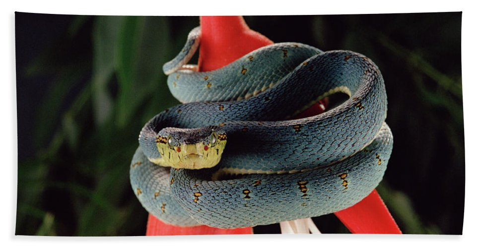 Mp Hand Towel featuring the photograph Two-striped Forest Pit Viper Bothrops by Claus Meyer