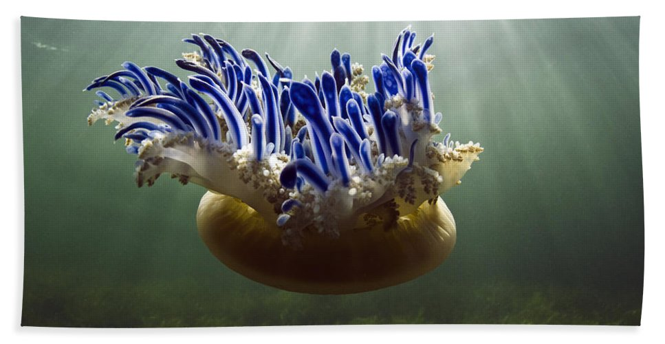 Mp Hand Towel featuring the photograph Upside-down Jellyfish Cassiopea Sp by Pete Oxford