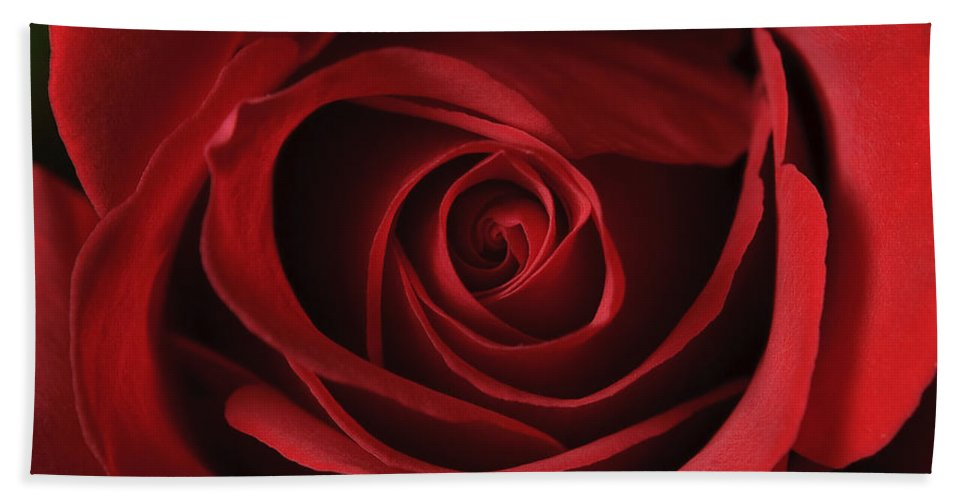 Close Up Bath Sheet featuring the photograph Valentine Rose - Color by Sean Wray