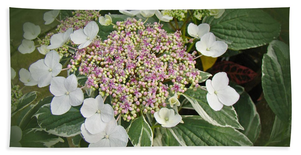 Hydrangea Hand Towel featuring the photograph Variegated Lace Cap Hydrangea - Pink And White by Mother Nature