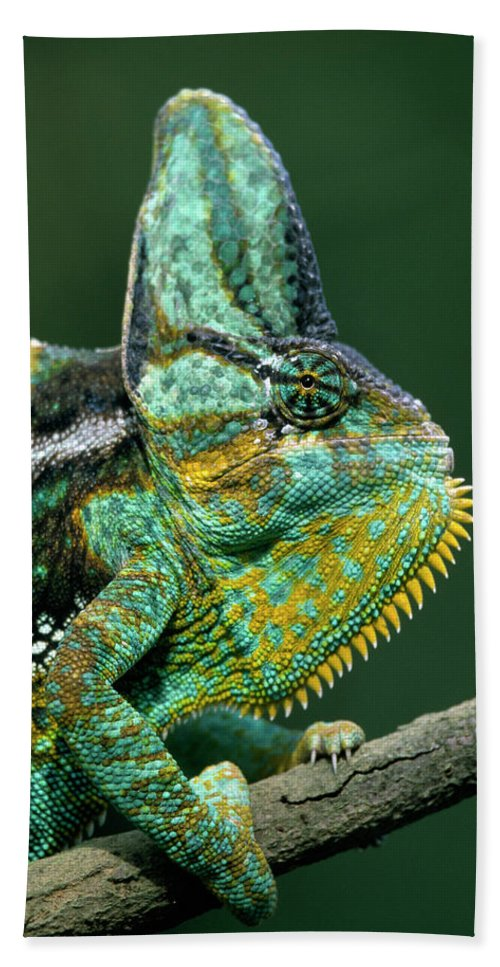 Fn Hand Towel featuring the photograph Veiled Chameleon Chamaeleo Calyptratus by Ingo Arndt