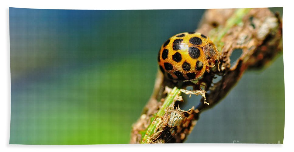 Photography Hand Towel featuring the photograph Very Hungry Ladybird 2 by Kaye Menner