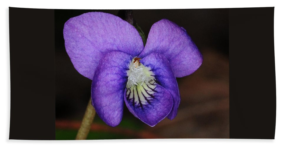 Purple Viola Hand Towel featuring the photograph Viola by Paul Ward