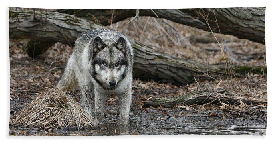 Wolf Hand Towel featuring the photograph Watching by Shari Jardina