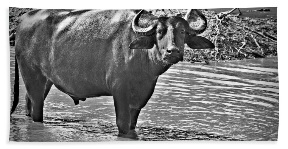 Water Buffalo In Black And White Hand Towel featuring the photograph Water Buffalo In Black And White by Douglas Barnard