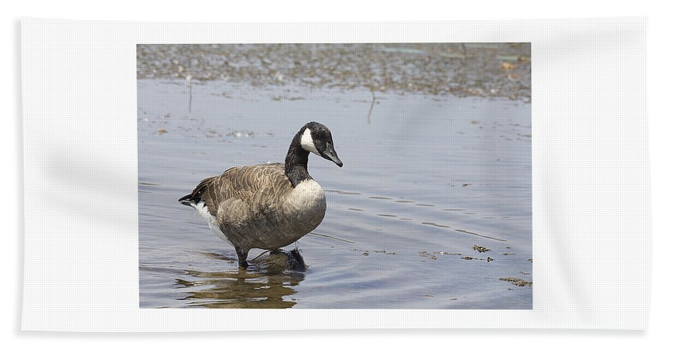 Canadian Goose Hand Towel featuring the photograph Water Wading by Douglas Barnard