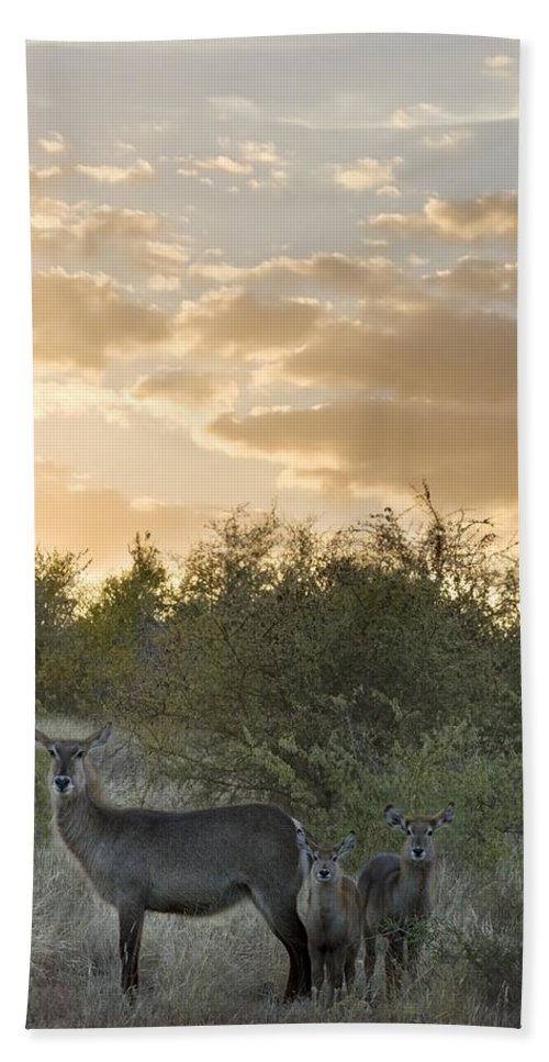 Mp Hand Towel featuring the photograph Waterbuck Kobus Ellipsiprymnus Mother by Matthias Breiter
