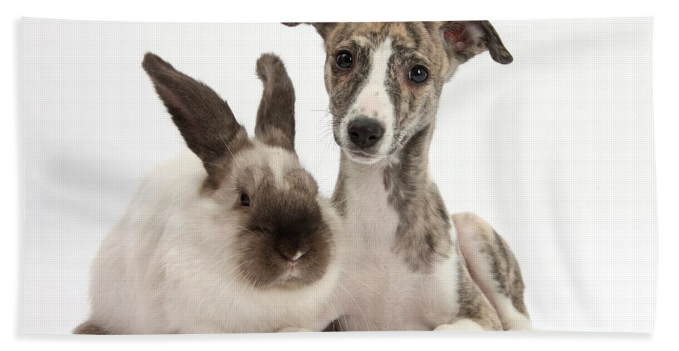 Nature Hand Towel featuring the photograph Whippet Pup With Colorpoint Rabbit by Mark Taylor