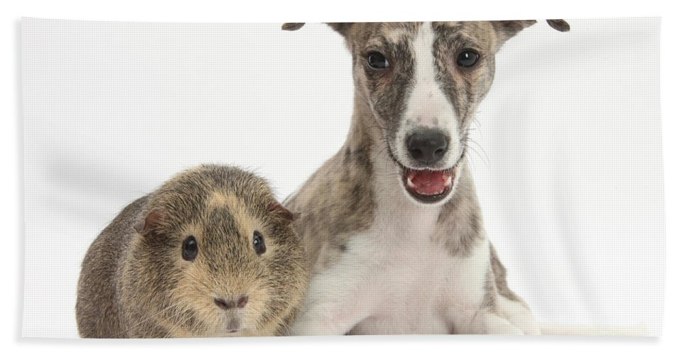 Nature Hand Towel featuring the photograph Whippet Pup With Guinea Pig by Mark Taylor