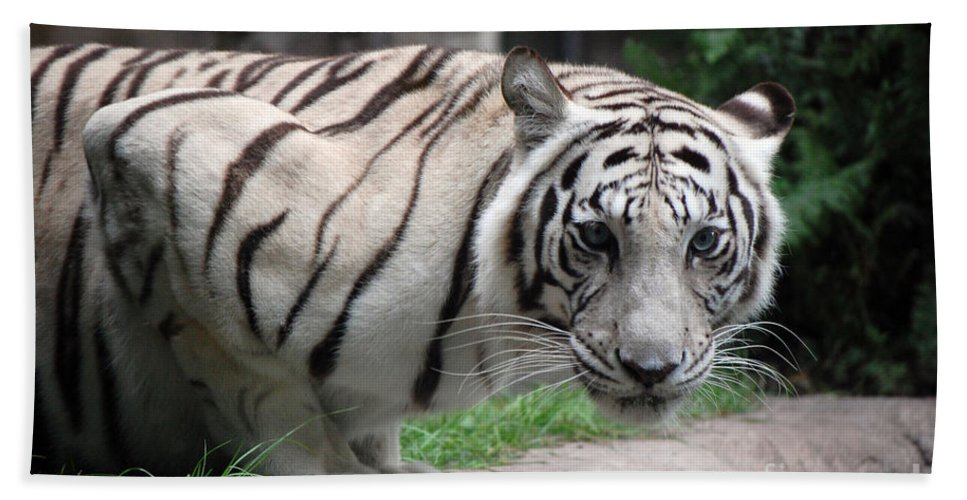 White Tiger Hand Towel featuring the photograph White Bengal Tiger by Robert Meanor