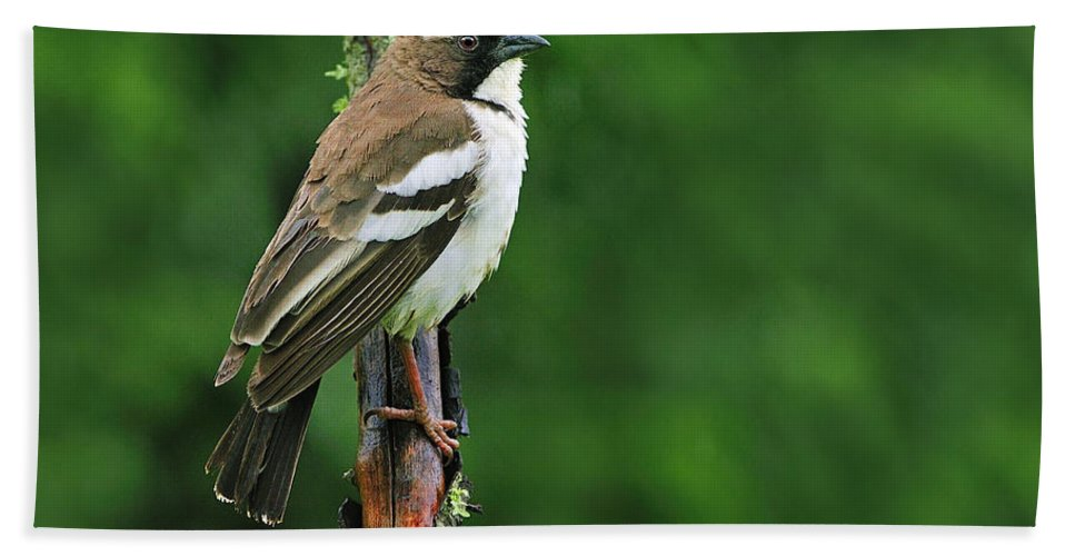White-browed Sparrow-weaver Bath Sheet featuring the photograph White-browed Sparrow-weaver by Tony Beck