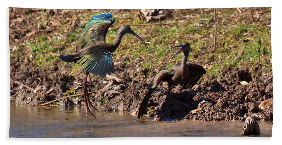 Dancing Bath Sheet featuring the photograph White-faced Ibis Mating Behavior In Early Spring by Louise Heusinkveld