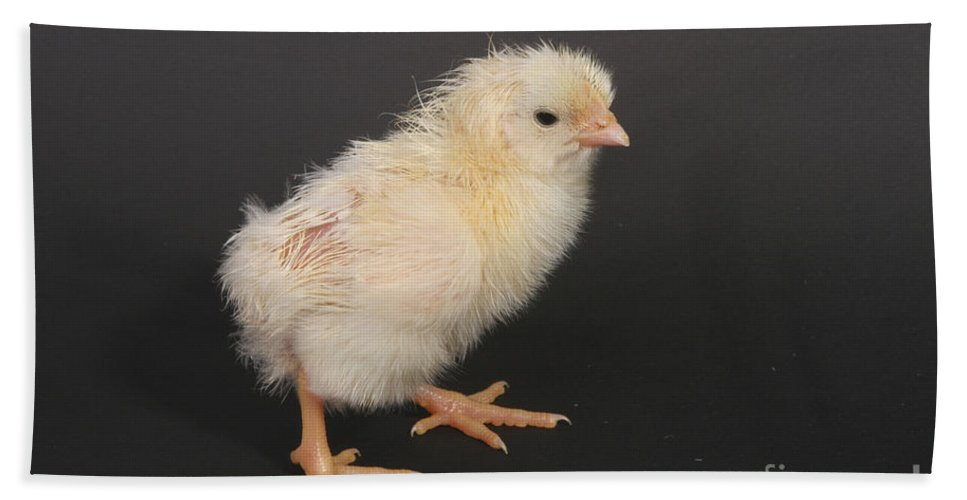 Chicken Hand Towel featuring the photograph White Leghorn Chick by Ted Kinsman