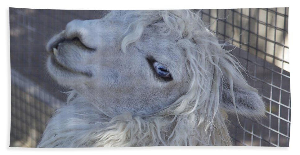 Animals Hand Towel featuring the photograph White Llama by Portraits By NC