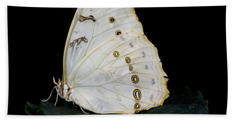 White Morpho Butterfly Hand Towel featuring the photograph White Morpho by Heather Applegate