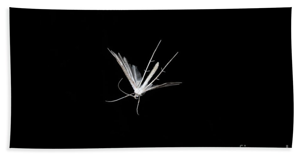White Plume Moth Hand Towel featuring the photograph White Plume Moth In Flight by Ted Kinsman