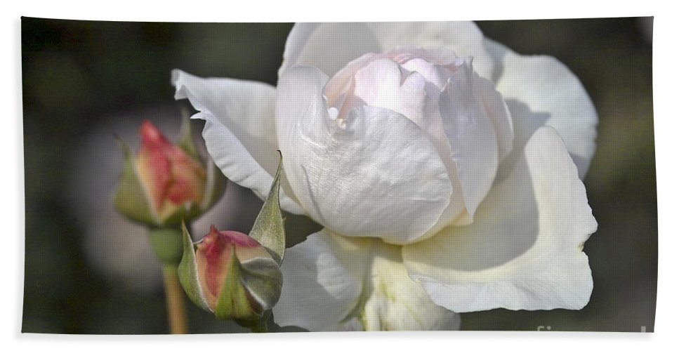 Rose Bath Sheet featuring the photograph White Rose by Heiko Koehrer-Wagner