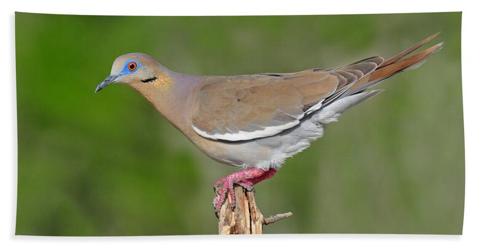 White Winged Dove Bath Sheet featuring the photograph White Winged Dove by Dave Mills