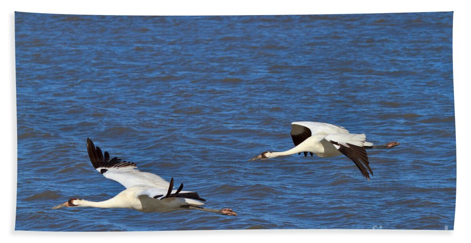 Whooping Crane Bath Sheet featuring the photograph Whooping Cranes by Louise Heusinkveld