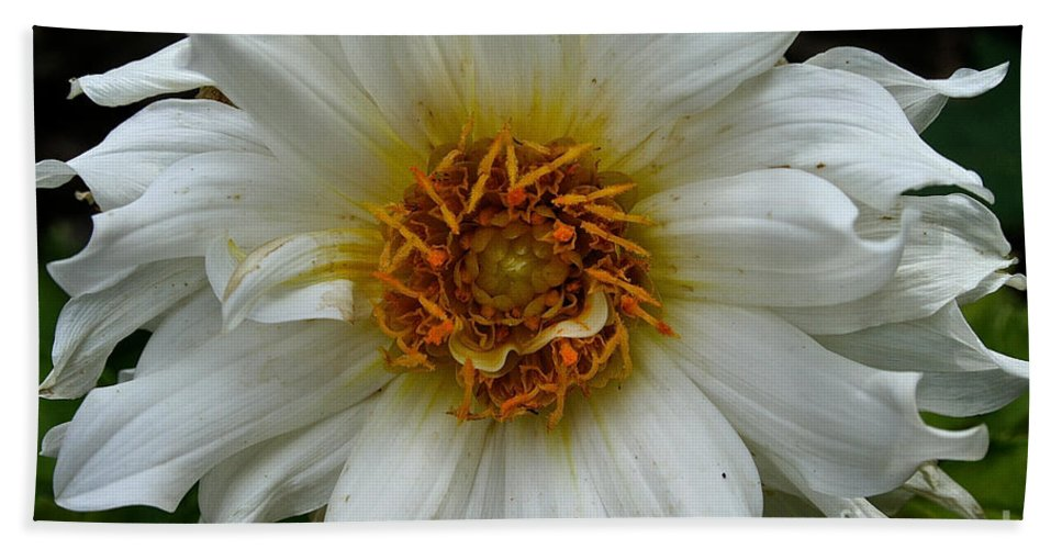 Outdoors Bath Sheet featuring the photograph Wiley White Dahlia by Susan Herber