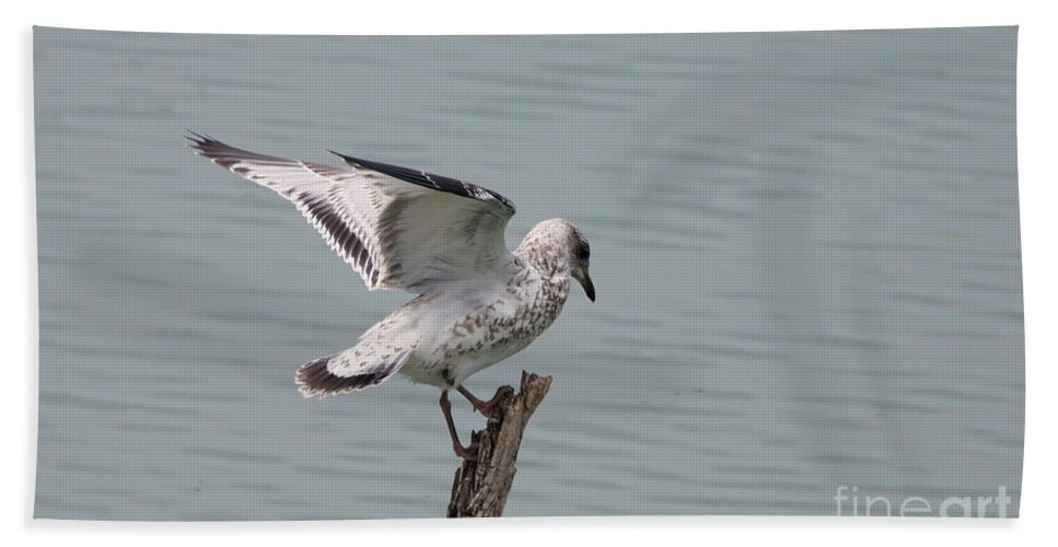 Seagull Bath Sheet featuring the photograph Wing Test by Lori Tordsen