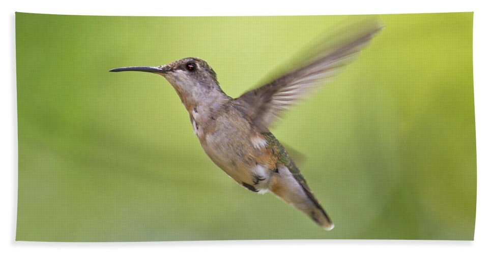 Hummingbird Bath Sheet featuring the photograph Winging It by Betsy Knapp