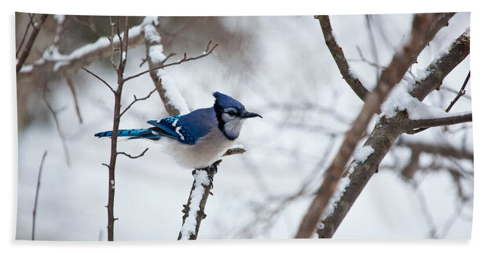 Blue Jay Bath Sheet featuring the photograph Winter Jay by Karol Livote