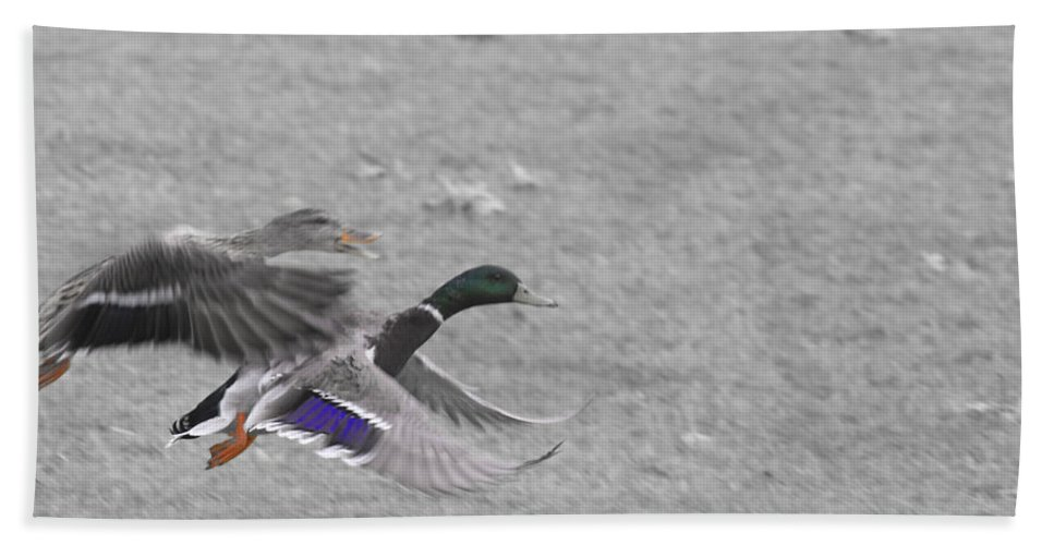 Ducks Flying Bath Sheet featuring the photograph With The Finishing Line In Sight by Douglas Barnard