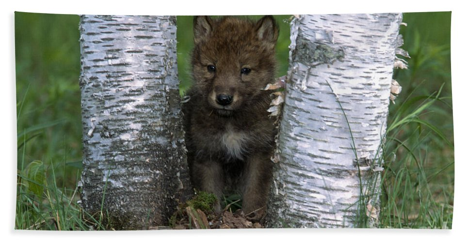 Wolves Hand Towel featuring the photograph Wolf Pup Playing Peekaboo by Sandra Bronstein