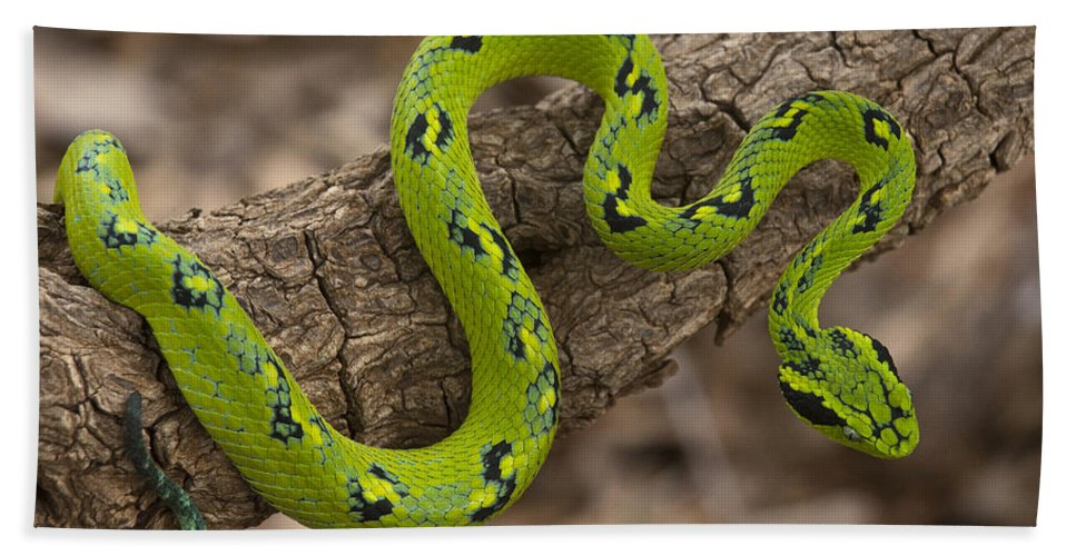 Mp Hand Towel featuring the photograph Yellow-blotched Palm Pitviper by Pete Oxford