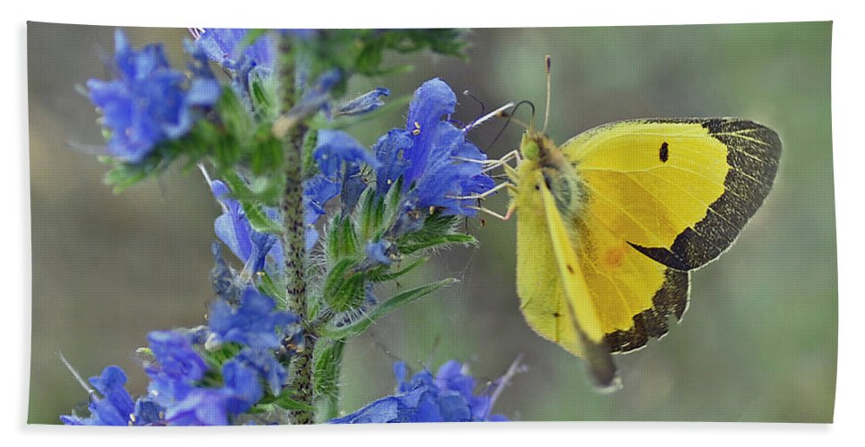 Butterfly Bath Sheet featuring the photograph Yellow Cabbage Butterfly by Rodney Campbell