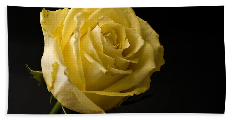 Yellow Rose Black Background Bath Sheet featuring the photograph Yellow Rose by Steve Purnell