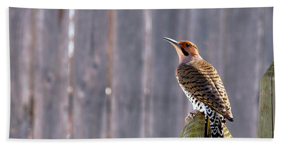 Yellow-shafted Flicker Bath Sheet featuring the photograph Yellow-shafted Flicker Posing by Edward Peterson