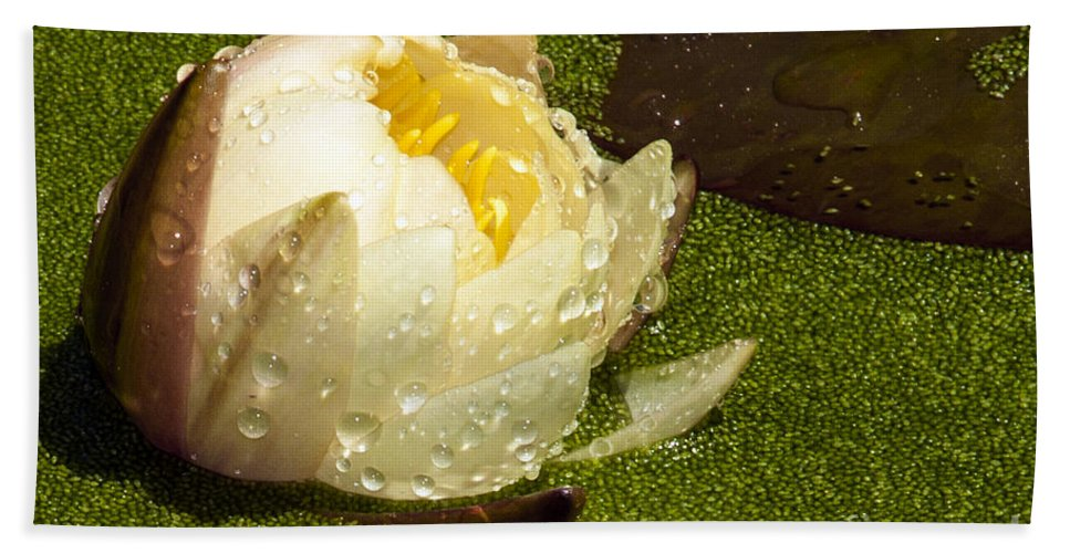 Water Lily Hand Towel featuring the photograph Yellow Waterlily Bud by Darleen Stry