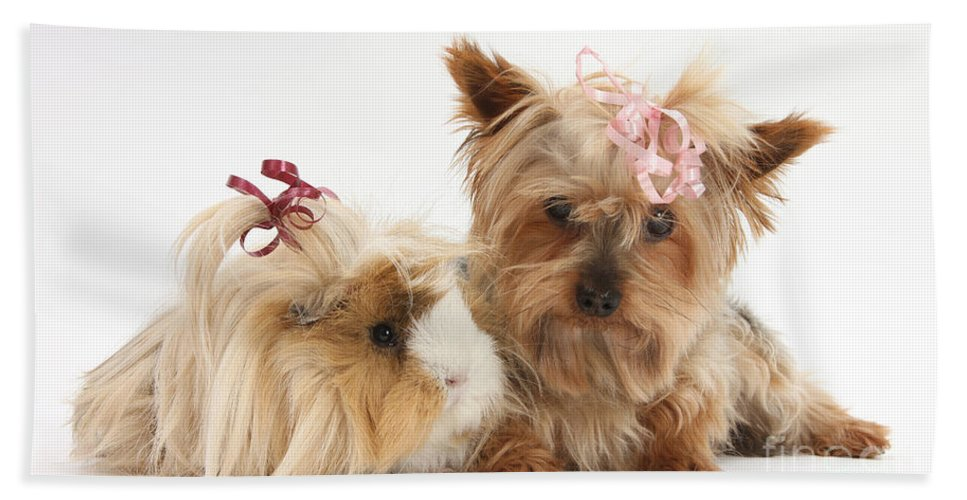 Fauna Hand Towel featuring the photograph Yorkshire Terrier And Guinea Pig by Mark Taylor