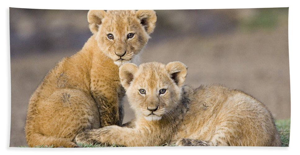 Mp Hand Towel featuring the photograph Young African Lion Cubs by Suzi Eszterhas