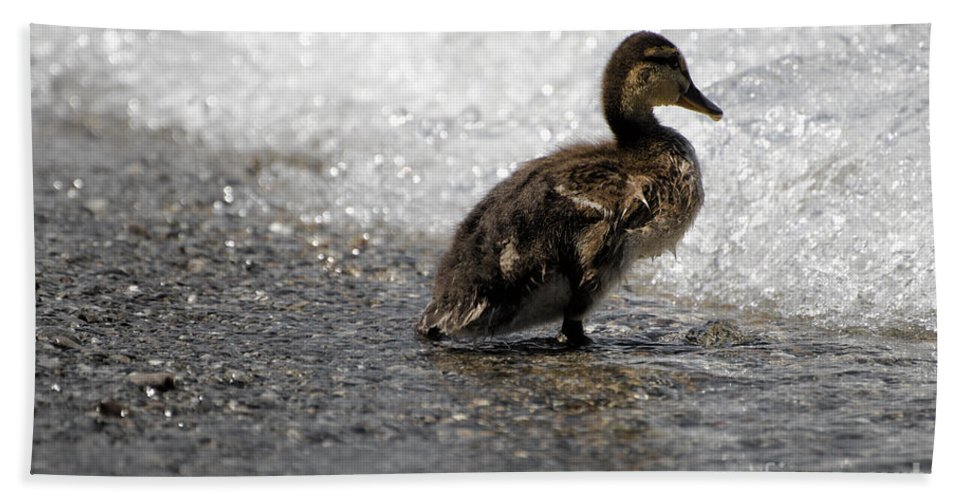 Duck Bath Sheet featuring the photograph Young Duck On The Beach by Mats Silvan