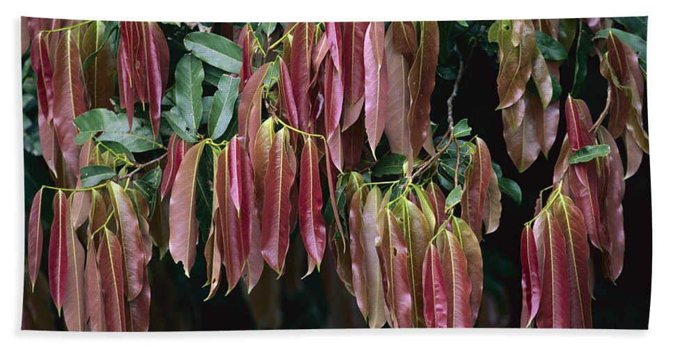 Mp Hand Towel featuring the photograph Young Red Leaves Lacking Chlorophyll by Christian Ziegler