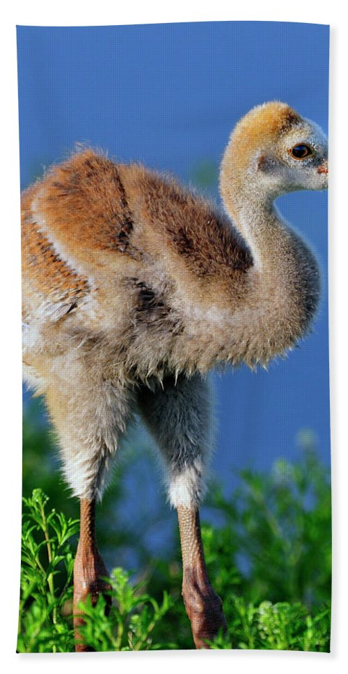 Sandhill Hand Towel featuring the photograph Young Sandhill Crane by Bill Dodsworth